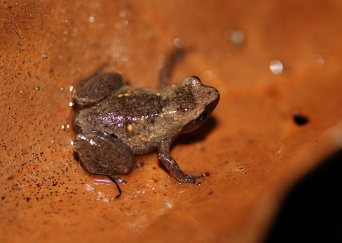 Microhylid Frog | Anilany helenae