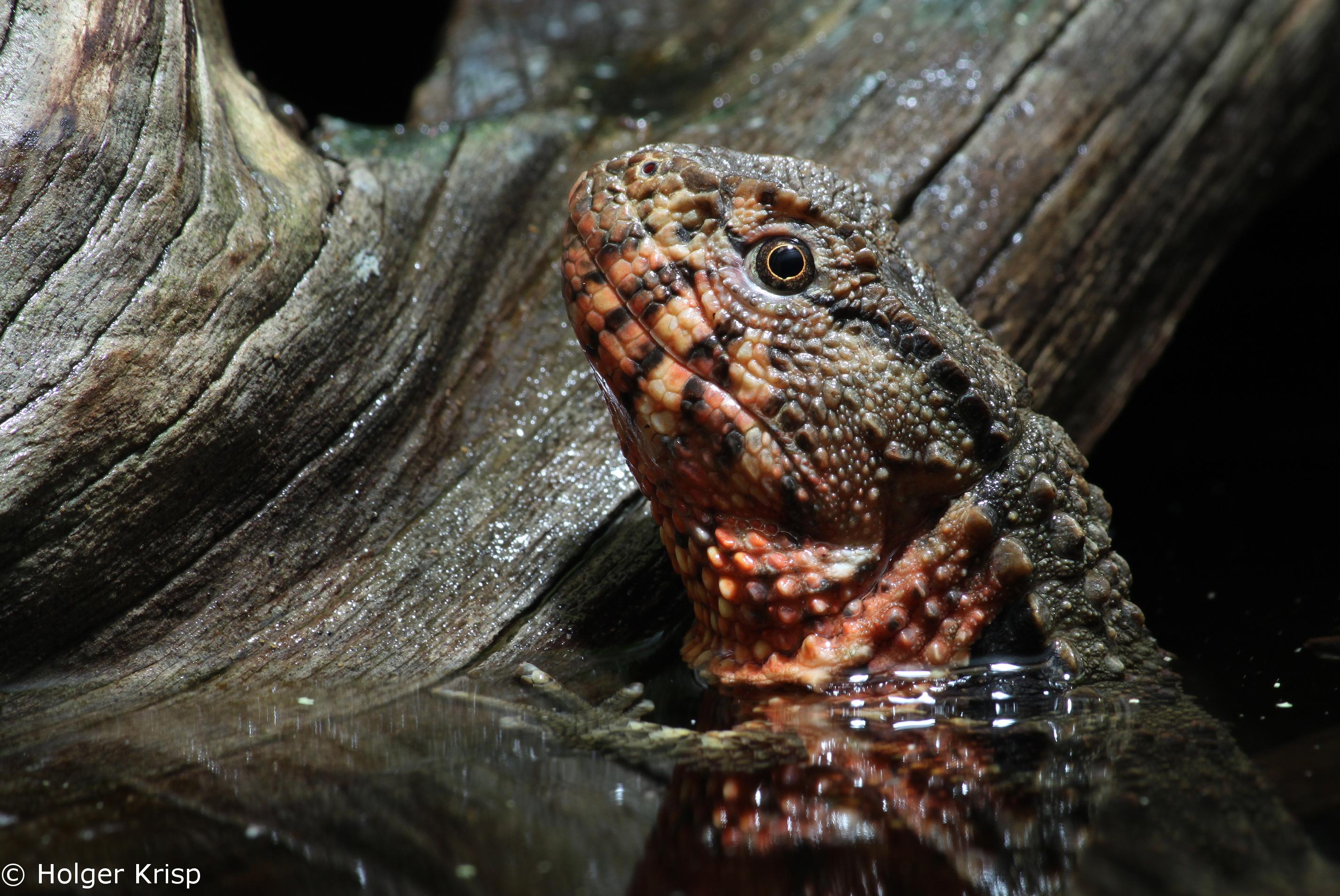 Shinisaurus_crocodilurus_Holger Krisp