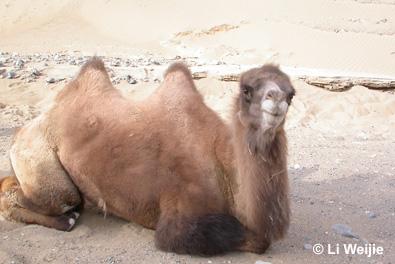 camel_sitting.jpg