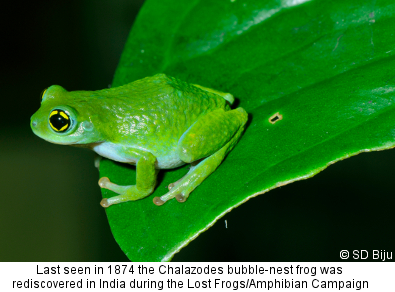 Chalazodes bubble-nest frog