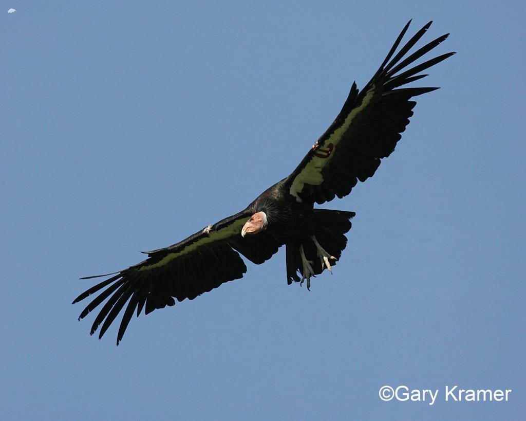 California Condor 5_GARY KRAMER_US FISH AND WILDLIFE SERVICE